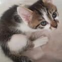 【汐風】好奇心旺盛なお転婆キジ白子猫