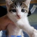 【雨季】少しおっとり系のキジ白ハチワレ子猫