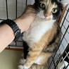 【アンチョビ】人馴れしている穏やかな三毛猫 サムネイル2