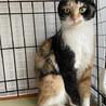 【アンチョビ】人馴れしている穏やかな三毛猫 サムネイル3