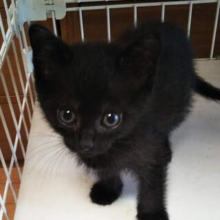 なれなれの甘ちゃん黒猫♡こえだちゃん1ヵ月半