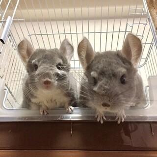 チンチラ バイオレットの双子 オス2匹