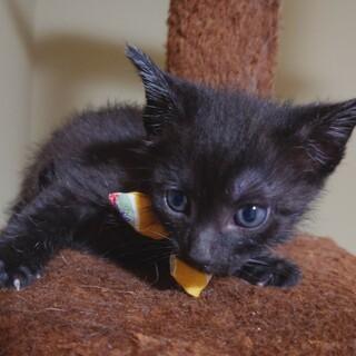 かわいい黒猫●めぐむくん●
