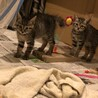 2ヵ月の兄弟仔猫の里親さん募集中です