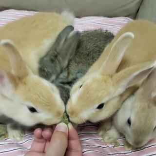 <募集停止・引き渡し調整中>ミニウサギ