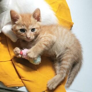茶トラ2か月子猫(2兄弟)抱っこ好き♡