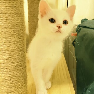 白いフワフワ2か月♂子猫(茶虎とペア※里親様交渉中