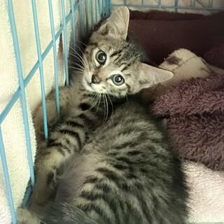 先住猫ちゃんのお友達に☆ダイソンくん1.5ヶ月