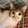ぱっちりお目目が可愛らしい三毛猫「ミルクちゃん」 サムネイル2