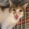 ぱっちりお目目が可愛らしい三毛猫「ミルクちゃん」 サムネイル3