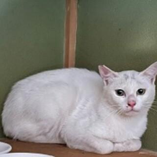 とても可愛いお顔の人なっこい白猫!