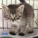 cat-M1018 ウレーサバ長毛ゴロニャン♪