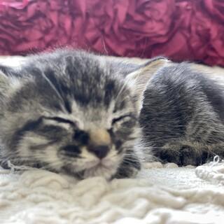 甘えん坊キジトラ子猫 茶トラと兄弟
