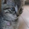 「野良の子猫」ピンちゃんの里親募集