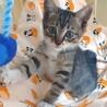 お茶目で甘えん坊でゴロゴロ…可愛い子猫です。