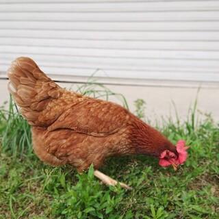 懐っこい鶏の麦菜ちゃん