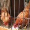 人慣れしてます!鶏の摘菜(つみな)ちゃん サムネイル6