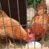 人慣れしてます!鶏の摘菜(つみな)ちゃん サムネイル7