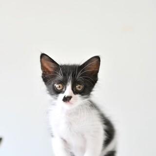 黒白子猫 セドナちゃん 里親様募集♡
