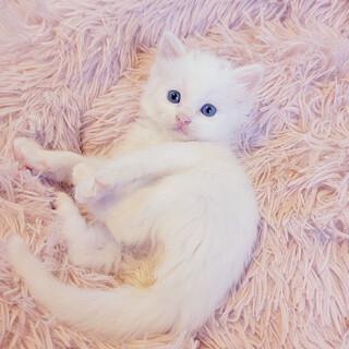 肩に乗って頬を寄せてくる♡長毛白猫さん♡