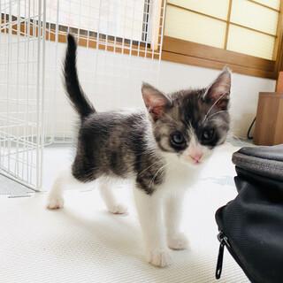 白黒子猫ちゃん【豊中市 2ヶ月】