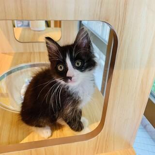 性格で選ぶならこの子❣️生後1ヶ月半の子猫
