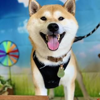 弾けるような笑顔!抱っこもできちゃう柴犬男子