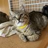キジトラ猫:みたらしくん