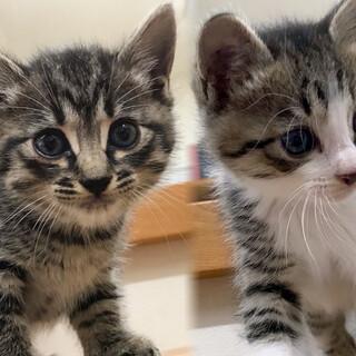 【島根県松江市より】子猫兄妹の飼い主さん募集!