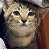 キジトラ猫:だいふくくん