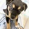 MIXの子犬の男の子プーアルくん サムネイル2