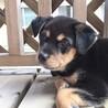 MIXの子犬の男の子プーアルくん サムネイル5