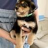 MIXの子犬の男の子ウーロンくん サムネイル2