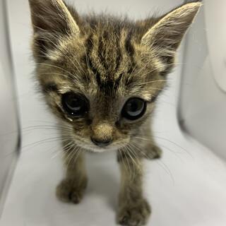 アメショ柄の可愛い仔猫ちゃん