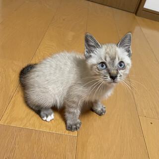 シャム系茶トラ柄の子猫