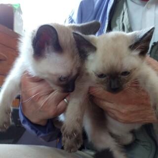 シャム柄猫ちゃんと黒猫ちゃん 3匹姉妹