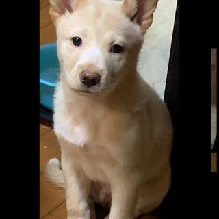 生後2か月半仔犬 男の子