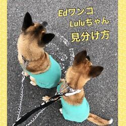 Edワンコ、Luluちゃん、見分け方