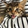 フワフワのキジ猫テル君1ヶ月半