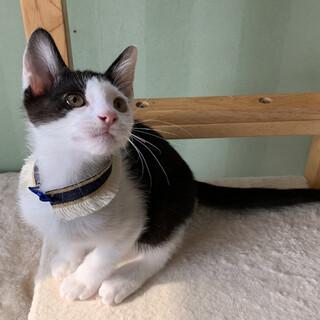 しつけ済・活発な白黒猫