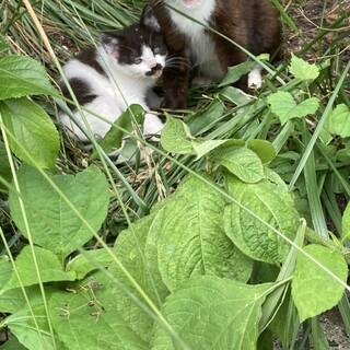 2ヶ月未満 元気な白黒子猫4匹