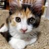 綺麗なサビミケちゃん❤懐っこい美猫です