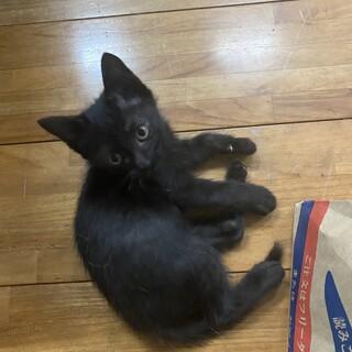 黒猫の男の子里親募集