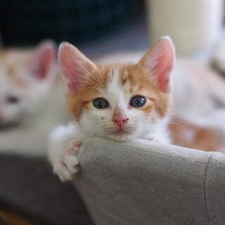 可愛い子猫茶白ラッキー君と白茶ハッピー君