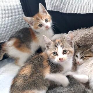 【6/27芝浦】三毛らしい三毛★美猫姉妹ペアで