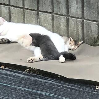 ブリティッシュ?2.3か月位の迷子猫