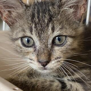 2ヶ月のキジトラ子猫