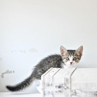キジ白子猫  マイアミちゃん 里親様募集♡
