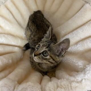 生後2ヶ月半:大きな目のキジトラの女の子