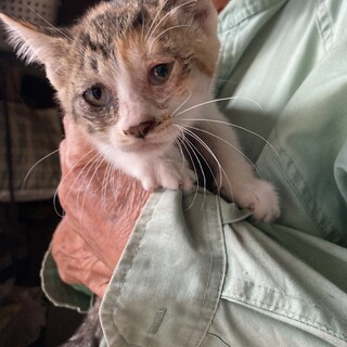 生後1ヶ月三毛猫